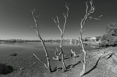 Death in the mangroves (OzzRod) Tags: pentax k1 smcpentaxf1728mmf3545fisheye monochrome blackandwhite estuary shoreline dead trees mangroves blacknedsbay swansea nsw dailyinjuly2018