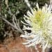 fothergilla flowering head