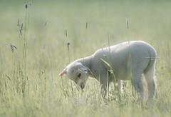 So much to discover (Ingeborg Ruyken) Tags: grass spring sheep mei flickr ochtend 500pxs empel gras lamb empelsedijk lente natuurfotografie lammetje may instagram schaap
