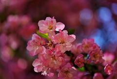 flower 1521 (kaifudo) Tags: sapporo hokkaido japan botanicalgarden flower hallcrabapple malushalliana ハナカイドウ 花海棠 札幌 北海道 北大植物園 nikon d810 sigmaapomacro105mmf28 sigma 105mm kaifudo