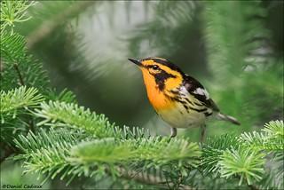 Blackburnian Warbler Within Spruce Habitat