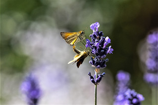 mating skipper butterflies