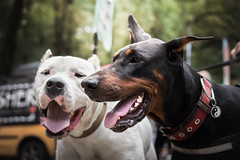 Smily buddies (zola.kovacsh) Tags: outdoor animal pet dog iron doberman pinscher dobermann wood forest