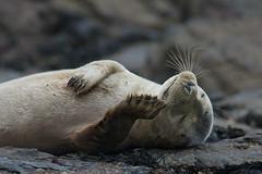 Grey seal (Alex Srdic) Tags: uk britain england yorkshire whitby ravenscar mammal mammals seal seals sea seaside ocean wave waves water