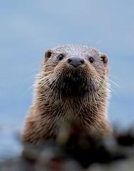 Otter (davy ren2) Tags: mull otter portrait nature photograthy wildlife nikon d500 scotland