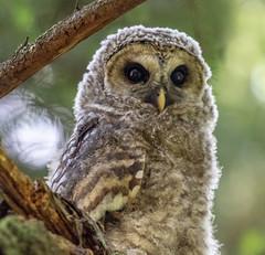 barred owlet (mountstephen11) Tags: barred owlet owl wildlife birds prey