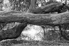 Tree (Pascal Volk) Tags: berlin althohenschönhausen berlinlichtenberg obersee see lago lake artinbw schwarz weis black white blackandwhite schwarzweis sw bw bnw blancoynegro blanconegro árbol baum tree trunk stem tronco baumstamm natur nature naturaleza pflanze plant planta sommer summer verano canoneos80d lensbabycomposerproii lensbabyedge50optic lbe50 lbcp2 lbcp2e50 50mm seeinanewway 50mmlens niftyfifty novoflextriomini dxophotolab dxosilverefexpro nikcollection