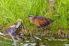 IMG_9356 (nitinpatel2) Tags: bird nature nitinpatel