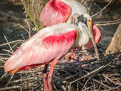 Newly Hatched... (Selkii's Photos) Tags: ajaiaajaja babybird birds chick highisland nest roseatespoonbill smithoaksbirdrookery smithoaksbirdsanctuary texas unitedstates audubonsociety
