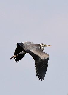 Grey Heron in full flight