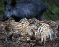 Motherlove #2 (dejongbram) Tags: animal boar susscrofa piglet frisling everzwijn veluwe gelderland sow forest mammal nikond500 nature