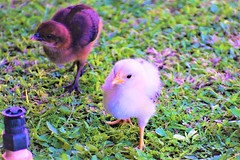 Baby chicks (thomasgorman1) Tags: chicks chickens outdoors isle molokai island sprinkler grass lawn hawaii closeups wildlife feral wild