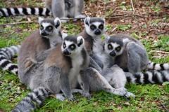 Eyes right! Eyes Left! - Ring-tailed Lemurs at Monkey World, Dorset. (One more shot Rog) Tags: lemur lemurs primate primates monkeys monkey nature stripes ringtailedlemur ringtailedlemurs madagascar monkeyworld endemic wildlife wild wilds animal eyes onemoreshotrog rogersargentwildlifephotography nikon nikon500