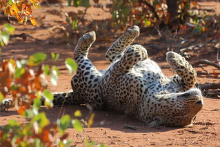 Leopard in playful mood