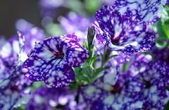 Spotty (haberlea) Tags: garden mygarden petunia petunianightsky flowers plant spotty nature