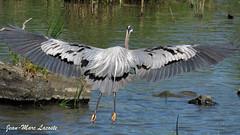 Grand Héron, 11 juillet 2018 ______________ Great Blue Heron / Andea herodias (lacostejm) Tags: grandhéron greatblueheron ardeaherodias zoneimportantespourlaconservationdesoiseaux refugedoiseauxmigrateurs rom zicoqc128 zico zicoquébec refuged'oiseauxmigrateurs refugedoiseauxmigrateursdelîleauxhérons fleuvestlaurent rapidesdelachine secteurdoiseauxmigrateurs lasalle migrationbirdsanctury naturequébec migratorybirdsconventionact loide1994surlaconventionconcernantlesoiseauxmigrateurs lanatureenville héritagelaurentien amisduparcdesrapides verdun bergesdustlaurent lefleuvesaintlaurentungéantfragile magixvidéodeluxepremium ra canonpowershotsx60
