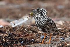 Peut-être battant ... (kookaburra 81) Tags: oiseau scandinavie combattantvarié charadriiformes philomachuspugnax ruff scolopacidés bird