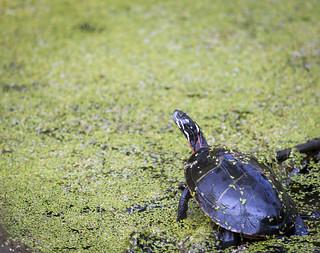 turtle_5079