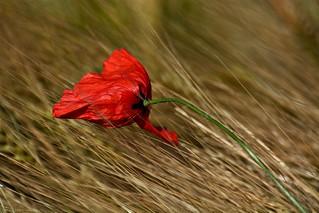 Poppy flower in grain field #11