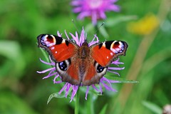 Tagpfauenauge (Aglais io) (Hugo von Schreck) Tags: hugovonschreck tagpfauenauge aglaisio schmetterling butterfly falter macro makro insect insekt tamron28300mmf3563divcpzda010 canoneos5dsr