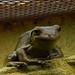 Frog, Perth Zoo