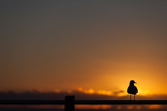 Gull on fence at dawn (Mikey Down Under) Tags: australia australian bird bright coast coffs contrejour dawn daybreak fence gull headland lookout northcoast northern nsw ocean orange pacific post rail seagull silhouette silhouetted silver sun sunrise wild wildlife woolgoolga