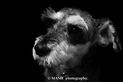 Millie. (Please follow my work.) Tags: art artistic artwork britain blackwhite blackandwhite bw biancoenero blanco brilliantphoto blancoynegro blancoenero dark enblancoynegro ennoiretblanc excellentphoto flickrcom flickr dog dogposing canine google googleimages gb greatbritain greatphotographers greatphoto image inbiancoenero interesting miniatureschnauzer millieminiatureschnauzer millie mamfphotography mamf monochrome nikon nikond7100 noiretblanc noir negro photography photo pretoebranco photograph photographer qualityphotograph schwarzundweis schwarz schnauzer unitedkingdom zwartenwit zwartwit zwart