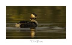 Calm molten copper waters. (timgoodacre) Tags: greatcrestedgrebe wildlife wildfowl bird wildbird nature ngc grebe birds