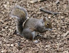 Squirrel (michael_doward) Tags: squirrel canon canon80d victoriapark