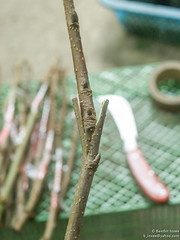 grafting (b. inxee♪♫) Tags: mulberry grafting
