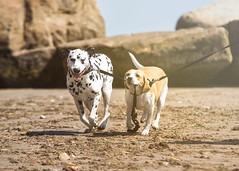 Po taking Fin for a run :) (Odd Jim) Tags: dogs dog dalmatian beagle running beach sand sea funny cute animal pets pet hound canon6d sigma70200 telephoto action sun isleofwight rocks