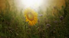 und es ist Sommer..... (marionkaminski) Tags: deutschland niedersachsen lowersaxony regionhannover flower fleur fiori botanik sonnenblume sunflower field panasonic lumixfz1000 sonnenlicht sunlight lumièredusoleil flores plant pflanze
