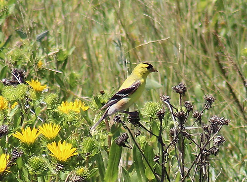 IMG_9112 Goldfinch and Gumweed