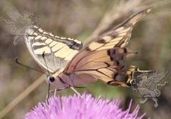 butterfly at Lucus Feronia 2018_09