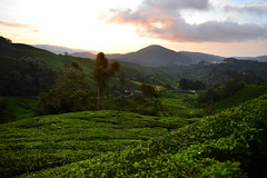 8H1_0249226 (kofatan (SS Tan) Tan Seow Shee) Tags: malaysia pahang cameronhighland copthornehotelsungeipalasbohplantation bharatteaplantation robinsonfall smokehouse brinchang tanahrata kofatan