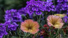 Sur un air d'Automne (musette thierry) Tags: musette thierry fleur chaude couleur d800 nikon 28300mm fleuraison fleurs fleurie flower flor composition realisation
