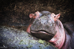 Baby Hippo Smiling (pbmultimedia5) Tags: baby hippo serengeti national park tanzania africa animal wildlife hippopotamus semiaquatic mammal pbmultimedia mud pond