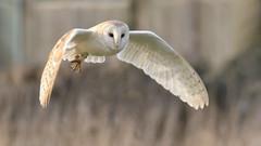 Barn Owl (KHR Images) Tags: barnowl barn owl tytoalba wild bird birdofprey flying hunting cambridgeshire fens eastanglia nikon d500 kevinrobson khrimages
