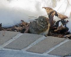 Little Bunny (Mark...L) Tags: bunny rabbit baby