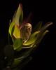Mystery flower (Cheryl3001) Tags: light flower low key plant