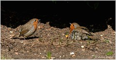 Hello Gorgeous! (lukiassaikul) Tags: wildlifephotography wildanimals europeanrobin spring smallbirds wildbirds gardenbirds robin urbanwildlife