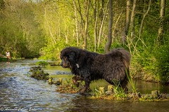 Walking on water (amandacollinseade) Tags: walkingonwater waterbaby soggydoggy footscray fivearches rivercray tibetanmastiff
