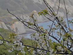 A GLIMPSE OF HEAVEN (Poppy Cocqué ♥) Tags: littleswitzerland cliffs sea blossom tree branches twigs view vista heaven ap poppy p🍀ppy coast beach swissway