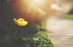 The Hidden Tulip (KissThePixel) Tags: gold yellow yellowflower yellowtulip tulip tulips flower flowers spring april hidden pathway garden nikon nikond750 50mm f14 bokeh macro sunlight light soft