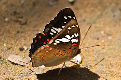 Euthalia lubentina lubentina (Gaudy Baron) (GeeC) Tags: animalia arthropoda brushfootedbutterflies butterfliesmoths cambodia euthalia euthalialubentinalubentina gaudybaron insecta kohkongprovince lepidoptera limenitidinae nature nymphalidae papilionoidea tatai truebutterflies