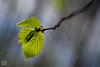 Es ist jedes Jahr ein Erlebnis. (ulf_leuteritz) Tags: macro makro pflanze licht light natur grün green nature leave blatt limmritz
