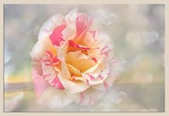 Forever in my heart ... (boeckli) Tags: flowers roses flower flora fleur rose rosen heart herz textures texturen texture textur evelynflint topaz topazstudio garden garten outdoor plant plants pflanze pflanzen rot ngc npc