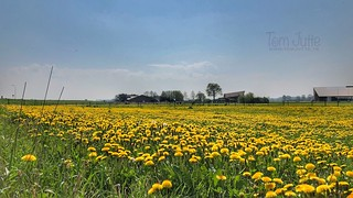 Yellow Dandelion field, Brummen, Netherlands - 0980