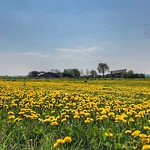 Yellow Dandelion field, Brummen, Netherlands - 0980 thumbnail