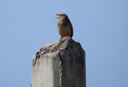 Olive-Backed Pipit Outside Hua Hin - Thailand